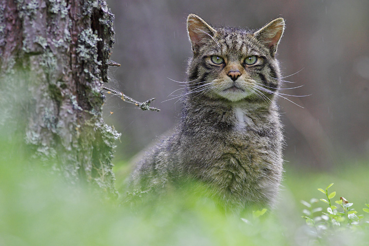 Scottish Wildcat (Felis sylvestris) - portrait of male in pine forest. Scotland, June.