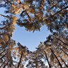 Scot's pine (Pinus sylvestris) woodland showing heart shaped opening in canopy, Abernethy Forest,  Scotland