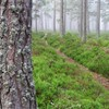 Footpath through mist-laden Caledonian pine forest (Pinus sylvestris) in summer. Abernethy Forest, Scotland.