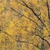 Section of autumnal silver birch woodland blowing in wind, Scotland