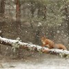Red squirrel (Sciurus vulgaris) adult on log in woodland, Scotland, February