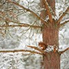 Red squirrel (Sciurus vulgaris) resting in pine tree in snow, Scotland, November