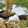 White-tailed eagle Haliaeetus albicilla, adult and chick at nest site, Beinn Eighe NNR, North-west Scotland, UK, June