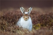 Mountain Hare portfolio gallery