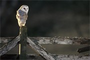 Barn Owl - Tyto alba - adult perched on old gate. Scotland. (captive-bred bird)