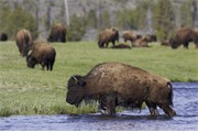 Bison - Bison bison -  adult crossing Madison River to reach fresh grazing meadow Yellowstone National Park, USA.