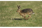 Brown Hare adult running across arable field. Scotland.
