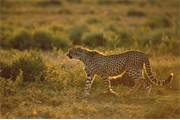 Cheetah walking in late evening light. Tanzania. East Africa. March 2004.