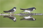 House martins (Delichon urbica) pair collecting mud for nest building. Scotland. May 2008