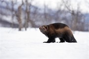 Wolverine Gulo gulo adult in snow (controlled conditions) Norway. March.